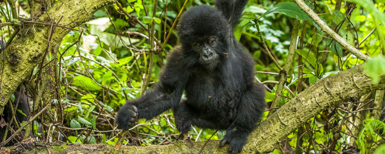 Mountain-Gorillas-in-Rwandas-Volcanoes-National-Park