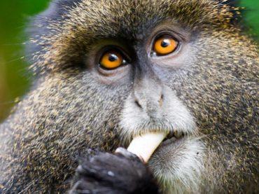 Chimpanzee & Golden Monkey Tracking in Rwanda