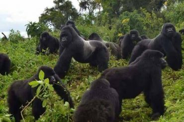 Congo Gorilla Journeys 2019-2020